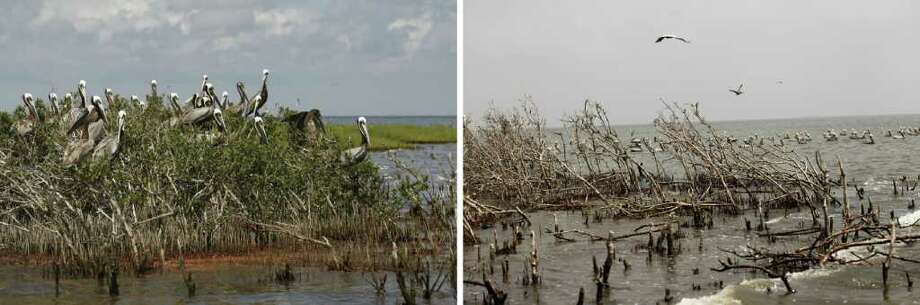 In this two picture combo, nesting pelicans are seen on May 22, 2010, left, as oil from the Deepwater Horizon oil spill washes ashore on Cat Island, home to hundreds of brown pelican nests as well at terns, gulls and roseate spoonbills, in Barataria Bay, just inside the the coast of Lousiana. The second photo, taken at the same spot on April 8, 2011, shows the shoreline heavily eroded, and the lush marsh grass and mangrove trees mostly dead or dying. Biologists from the Louisiana Department of Fish and Wildlife say this is largely because the island was completely overwashed by the oil, and poorly maintained oil booms contributed to the damage as well.  (AP Photo/Gerald Herbert, file) Photo: Gerald Herbert