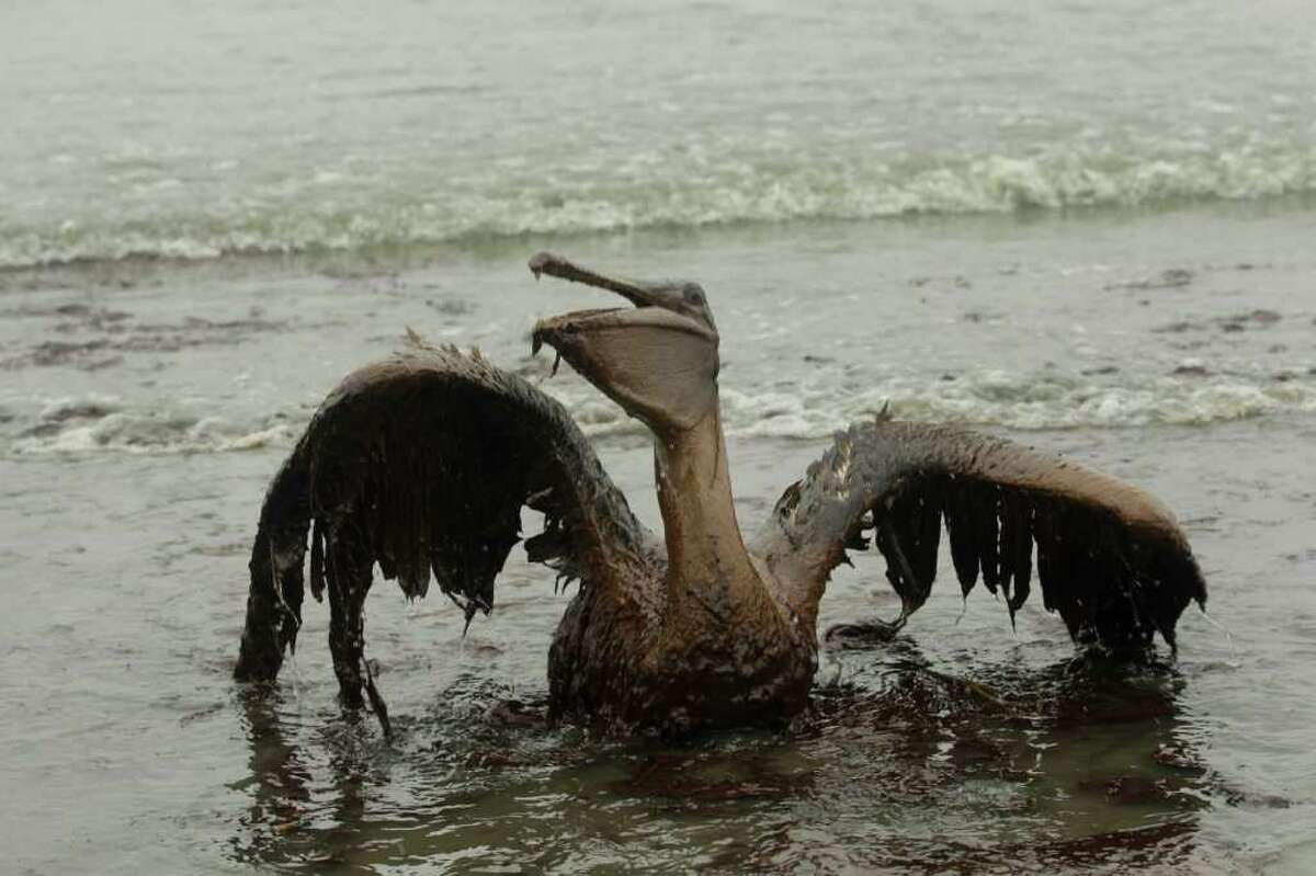 A brown pelican tries to raise its wings as it sits on the beach at East Grand Terre Island along the Louisiana coast after being drenched in oil from the BP Deepwater Horizon oil spill. An April 20, 2010 explosion at the offshore platform killed 11 men, and the subsequent leak released an estimated 172 million gallons of petroleum into the gulf.