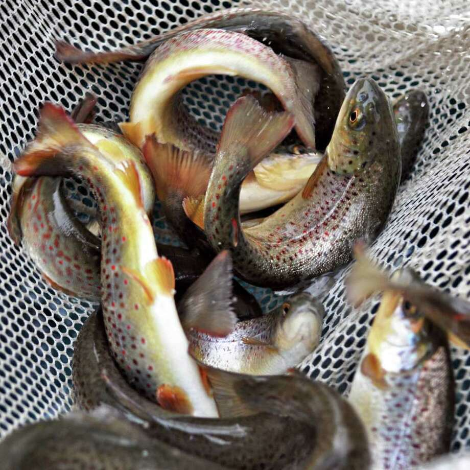Some of the brown trout  released into Geyser Creek during Saratoga Spa State Park's annual fish stocking on Wednesday, April 20, 2011.   (John Carl D'Annibale / Times Union) Photo: John Carl D'Annibale / 00012770A