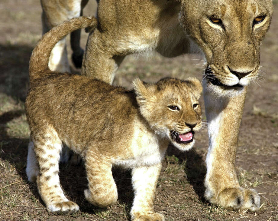 "A lion club accompanies mom in a scene from ""African Cats."" DISNEYNATURE PICTURES"