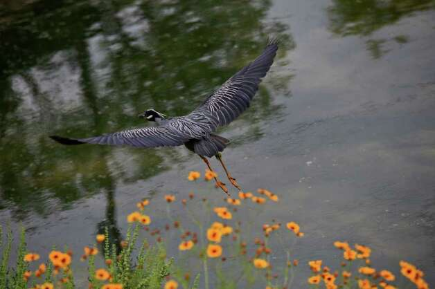 A yellow-crowned night heron flies above the San Antonio River within the Mission Reach Ecosystem Restoration and Recreation Project area. Photo: Lisa Krantz/Express-News / SAN ANTONIO EXPRESS-NEWS