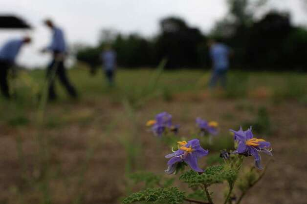 An unidentified flower grows as Riparian Field Technicians tend to the weeds within the Mission Reach Ecosystem Restoration and Recreation Project area on Wednesday, April 20, 2011. Photo: Lisa Krantz/Express-News / SAN ANTONIO EXPRESS-NEWS
