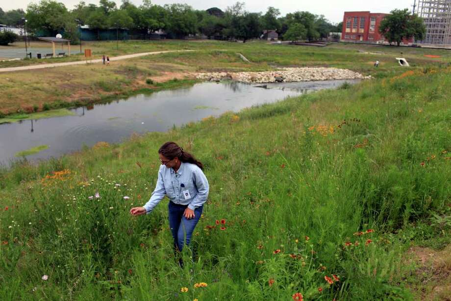 Lee Marlowe, Natural Resource Management Specialist, looks at a Basket Flower, part of the Mission Reach Ecosystem Restoration and Recreation Project, on Wednesday, April 20, 2011. Photo: Lisa Krantz/Express-News / SAN ANTONIO EXPRESS-NEWS
