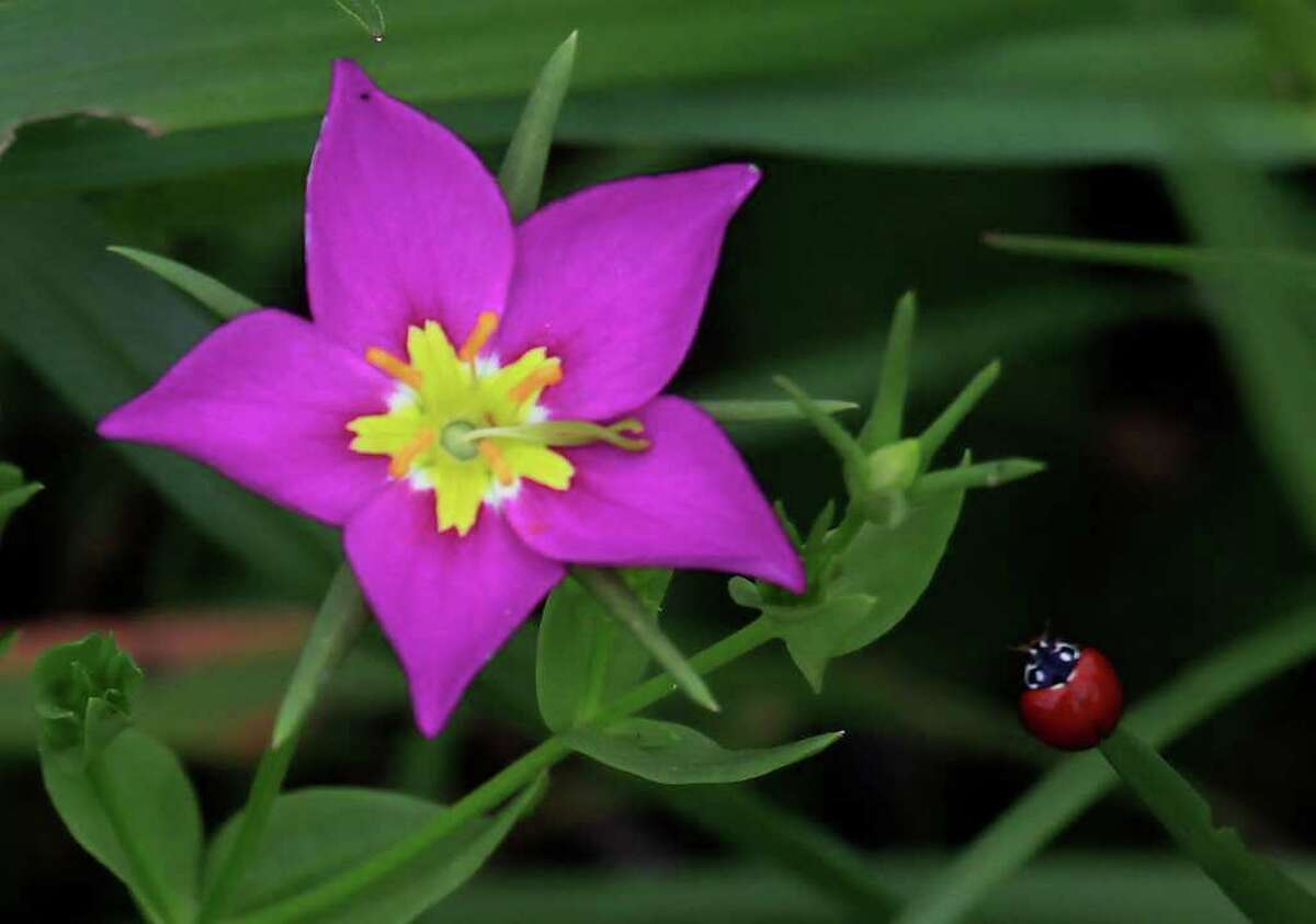 A Texas Star growing near the San Antonio River blooms just in time for Earth Day today. The native plant is there thanks to the work that has been done in the Mission Reach Ecosystem Restoration and Recreation Project.