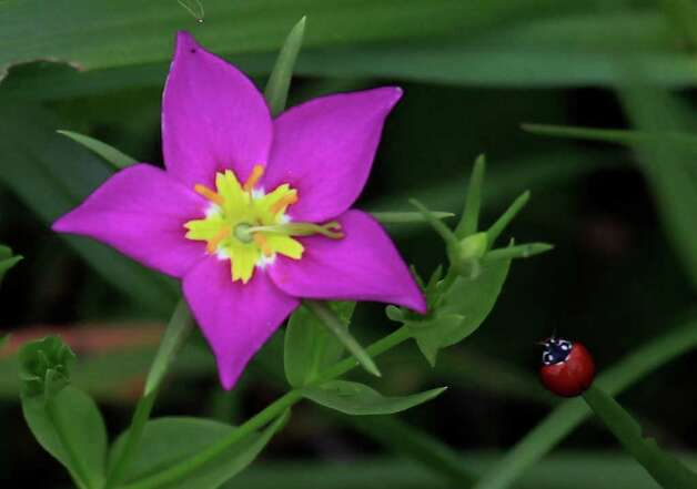A Texas Star growing near the San Antonio River. The native plant is there thanks to the work that has been done in the Mission Reach Ecosystem Restoration and Recreation Project. Photo: Lisa Krantz/Express-News / SAN ANTONIO EXPRESS-NEWS