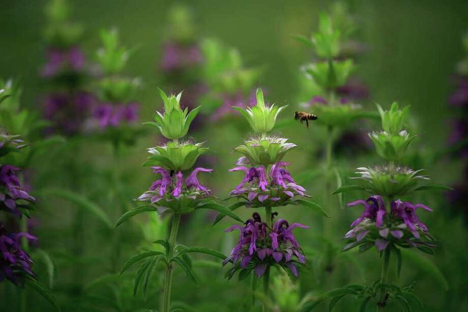 A bee flies around Purple Horsemint growing next to the San Antonio River, part of the Mission Reach Ecosystem Restoration and Recreation Project on Wednesday, April 20, 2011. Photo: Lisa Krantz/Express-News / SAN ANTONIO EXPRESS-NEWS