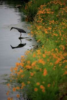 A yellow-crowned night heron hunts in the San Antonio River within the Mission Reach Ecosystem Restoration and Recreation Project area. Photo: Lisa Krantz/Express-News / SAN ANTONIO EXPRESS-NEWS