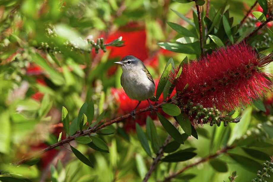 Audubon Societies in Texas help protect habitat and educate people about birds, like this Tennessee warbler.. Kathy Adams Clark / Special to the Express-News Photo: Kathy Adams Clark / KAC Productions