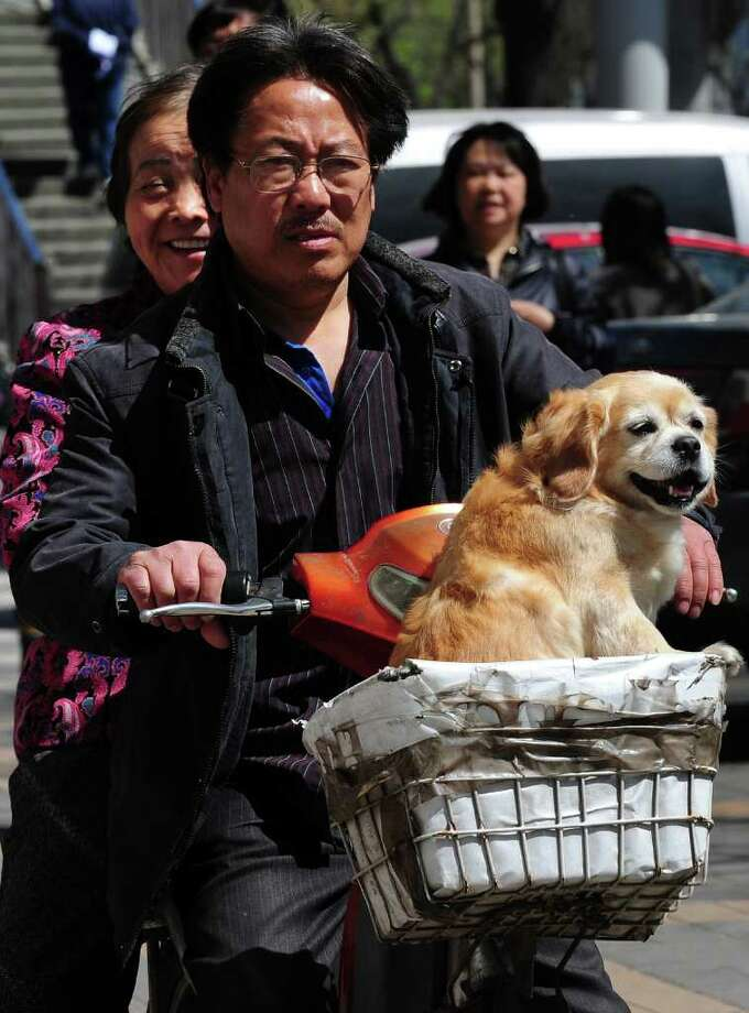 A dog rides in the basket of an electric bicycle in Beijing on April 18, 2011. Photo: AFP/Getty Images