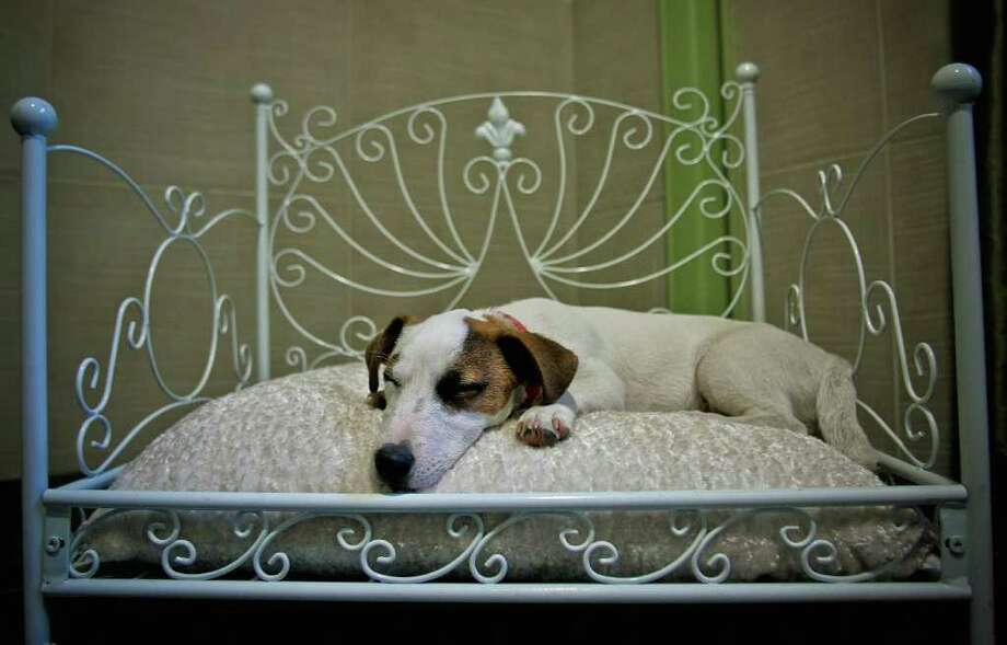 Flag, a Jack Russell terrier, sleeps in bed at Actuel Dogs on April 19, 2011 in Vincennes, France. Opened in November 2010 by Devi and Stan Burun, Actuel Dogs is a five-star luxury hotel for dogs. Photo: Getty Images