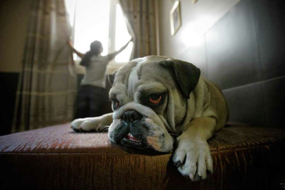 Bouboule, an English bulldog, rests in a hotel room at Actuel Dogs on April 19, 2011 in Vincennes, France. Opened in November 2010 by Devi and Stan Burun, Actuel Dogs is a five-star luxury hotel for dogs. Photo: Getty Images
