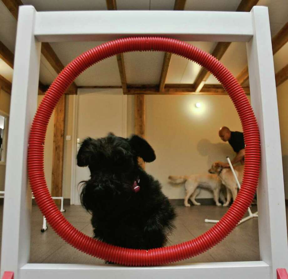 Belle, a schnorrer, jumps through a hoop in the game room at Actuel Dogs on April 19, 2011 in Vincennes, France. Opened in November 2010 by Devi and Stan Burun, Actuel Dogs is a five-star luxury hotel for dogs. Photo: Getty Images