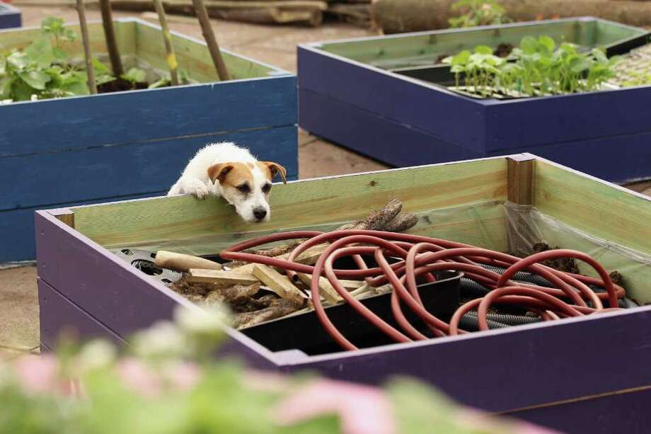 A gardener's dog inspects a raised-bed in the roof-top garden at the Southbank Centre on April 21, 2011 in London, England. The Southbank Centre is celebrating the 60th anniversary of the Festival of Britain with a roof-top garden, an urban beach, several art installations and a row of beach huts. Photo: Getty Images