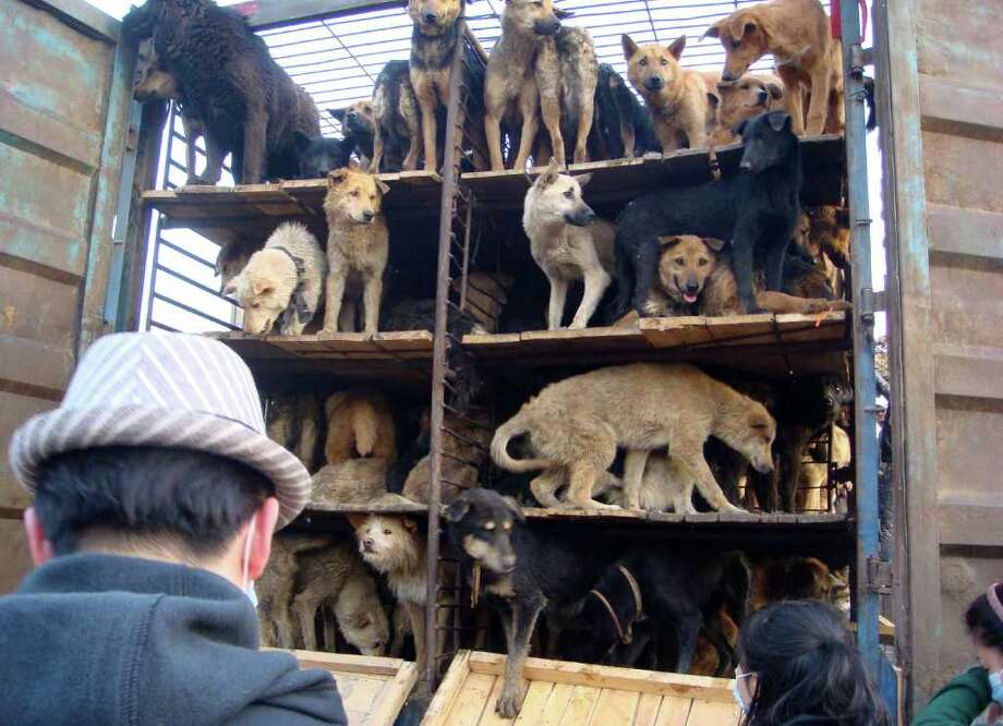 In this photo taken Saturday, April 16, 2011 and released by Capital Animals Welfare Association, dogs rescued by animal lovers are released from their truck at a shelter in Beijing, China. Chinese animal lovers mobilized by online calls for help blockaded a truck of hundreds of dogs being shipped off for food in a rare, permitted display of social action amid a broad crackdown on most kinds of activism. Photo: AP