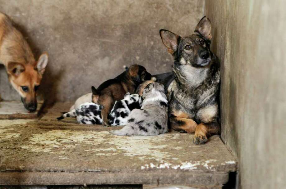 Rescued dogs rest in a shelter at a base of China Small Animal Protection Association on the outskirts of Beijing Wednesday, April 20, 2011. Photo: AP