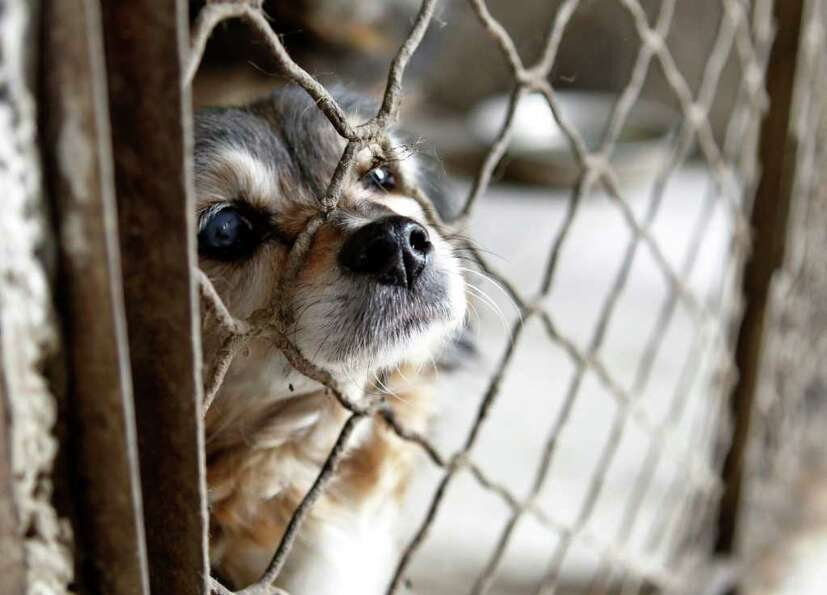 A rescued dog looks out from a cage at a base of China Small Animal Protection Association on the ou