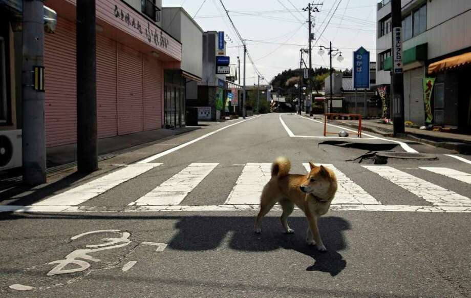 A dog walks across a street on Thursday, April 21, 2011  in the deserted town of Futaba, inside the 12-mile evacuation zone around the crippled Fukushima Dai-ichi nuclear power plant in Fukushima Prefecture, northeastern Japan. Photo: AP