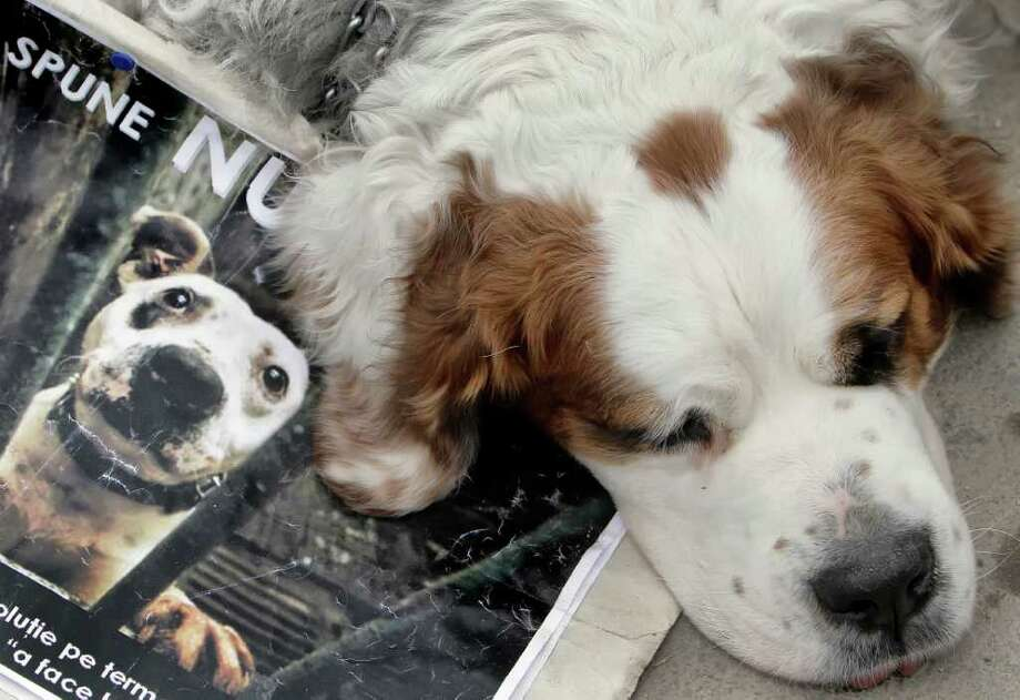 "Maia the Saint Bernard leans on a poster that reads ""Say no to euthanasia"" during the second week of almost daily protests by animal rights activists outside the parliament building in Bucharest, Romania, Tuesday, April 19, 2011. Photo: Vadim Ghirda, ASSOCIATED PRESS / AP2011"