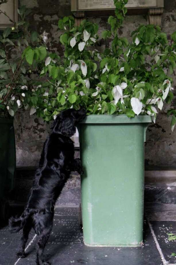 A police dog searches through the flowers brought into the Abbey during preparations for the upcoming royal wedding ceremony at Westminster Abbey. Photo: Getty Images