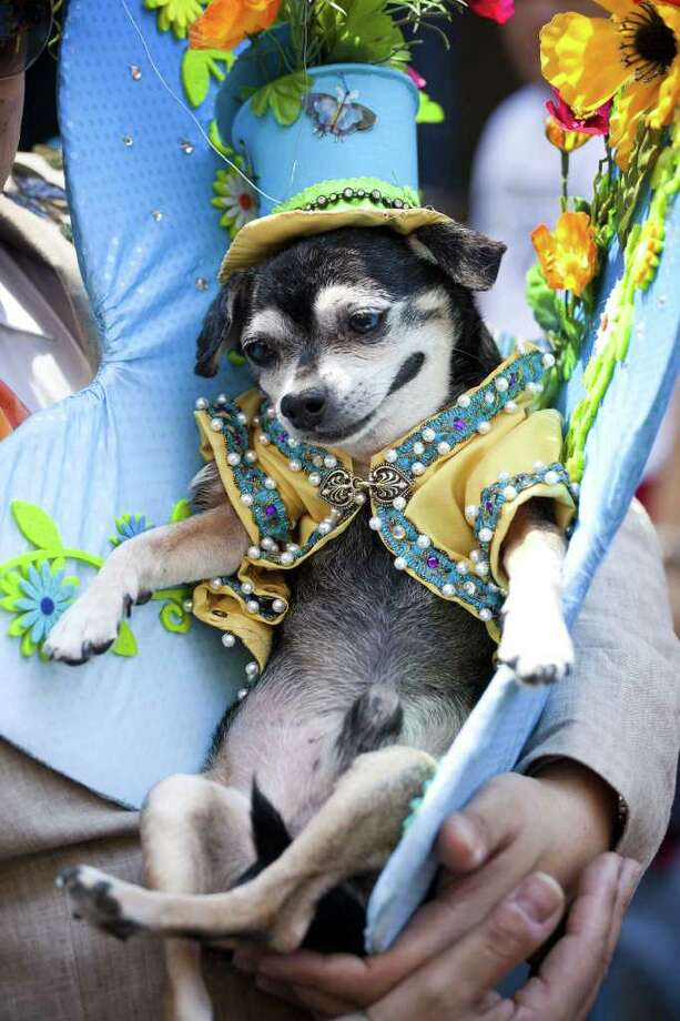 Anthony Rubio, of the Bronx, and his chihuahua Bandit take part in the 2011 Easter Parade and Easter Bonnet Festival in New York City.  Photo: Getty Images