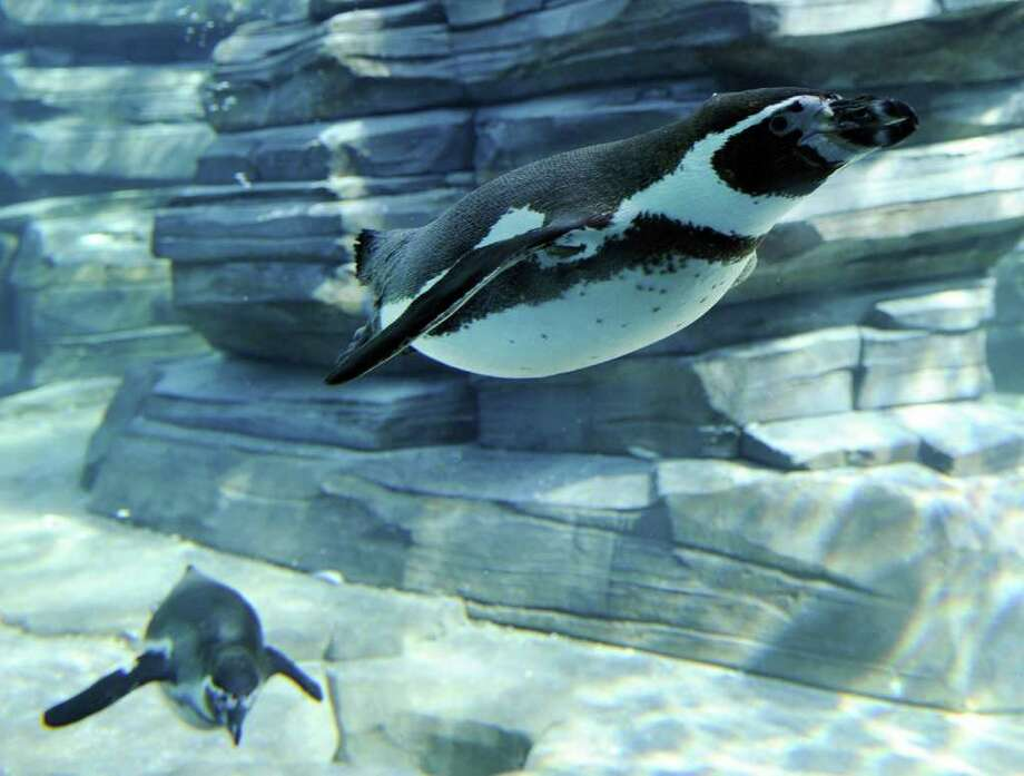 A picture taken at a zoo in Amneville shows a Humboldt Penguin. Photo: AFP/Getty Images