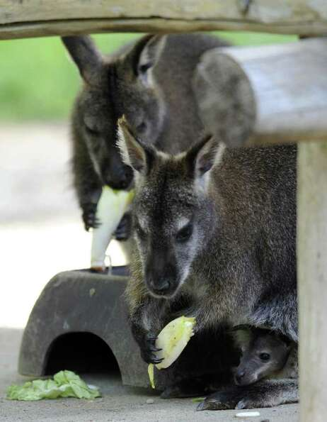A picture taken at a zoo in Amneville shows a baby wallaby at the zoo and its mother.