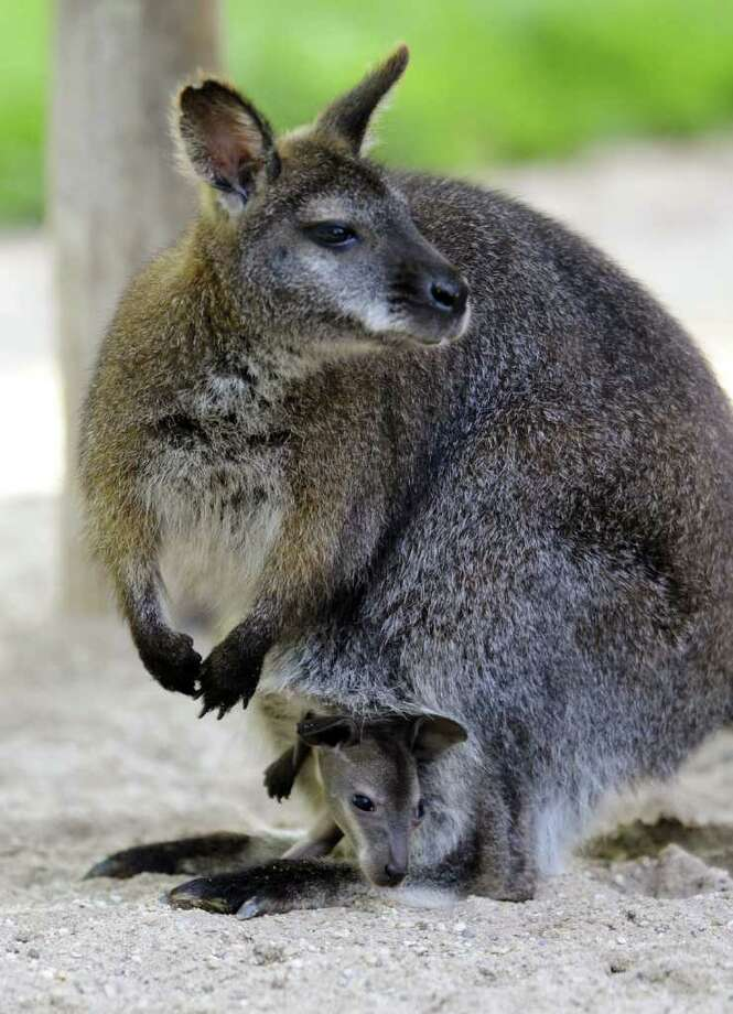 A picture taken at a zoo in Amneville shows a baby wallaby born at the zoo carried by its mother.  Photo: AFP/Getty Images