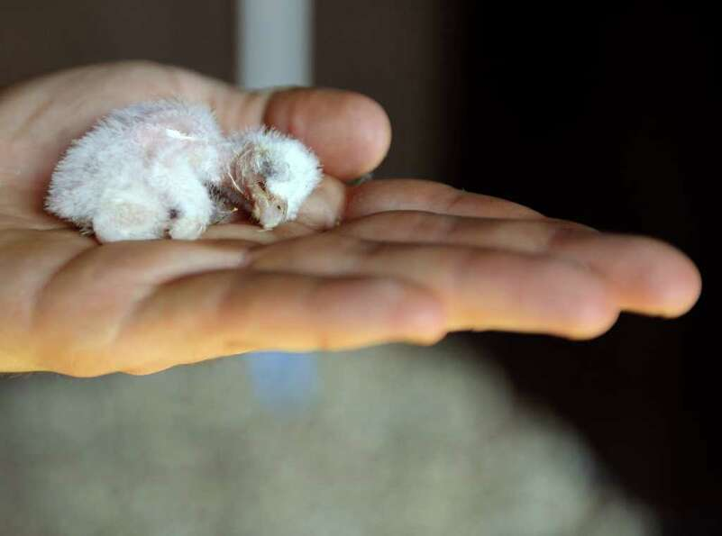 An employee of the Amneville zoo shows a baby barn owl at the zoo in Amneville.