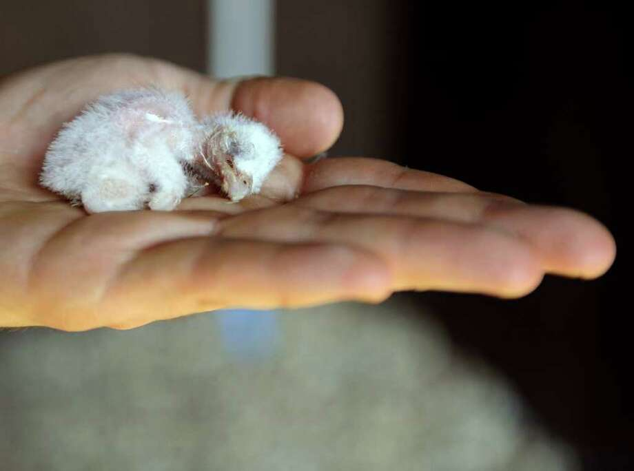 An employee of the Amneville zoo shows a baby barn owl at the zoo in Amneville. Photo: AFP/Getty Images