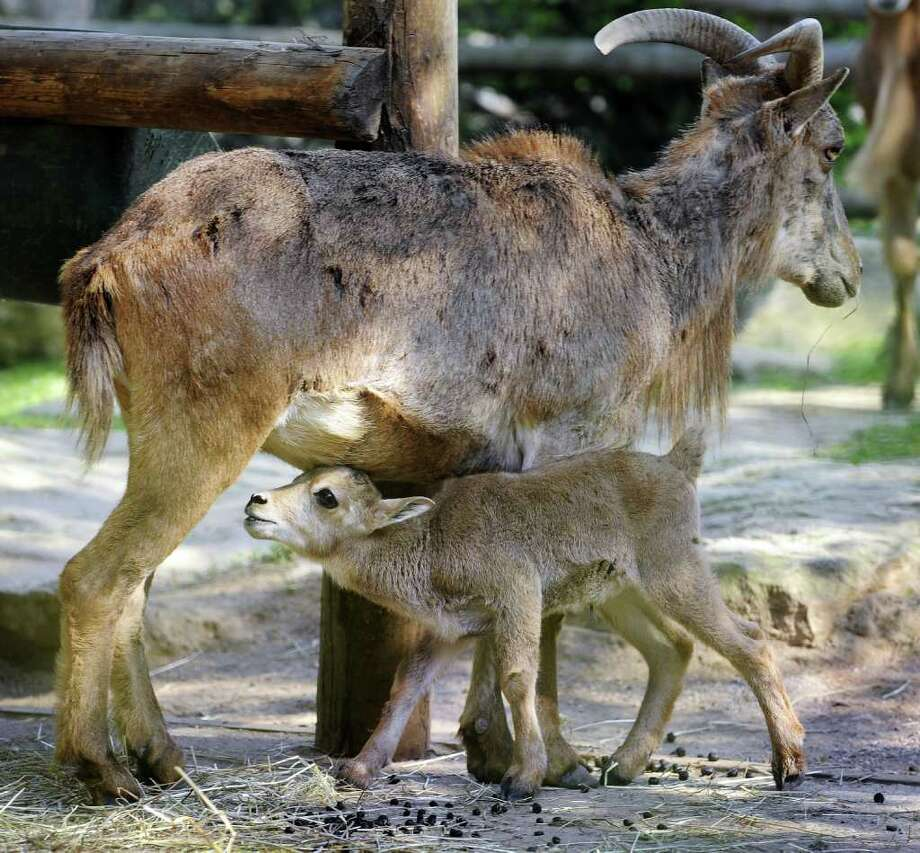 A picture taken at a zoo in Amneville shows one of the mountain sheep born lately at the zoo.  Photo: AFP/Getty Images