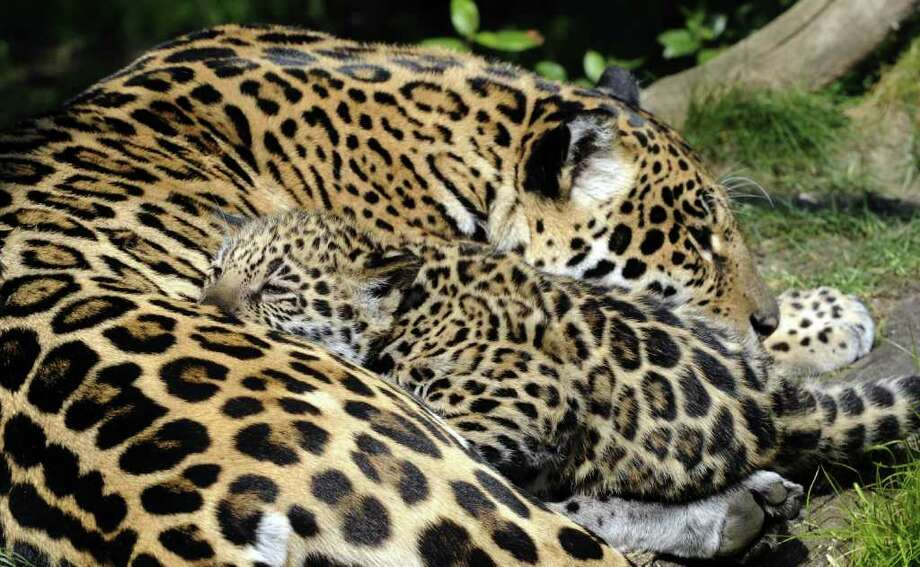A picture taken at a zoo in Amneville shows, Napo (R), a baby jaguar born recently at the zoo, sleeping with its mother. Photo: AFP/Getty Images