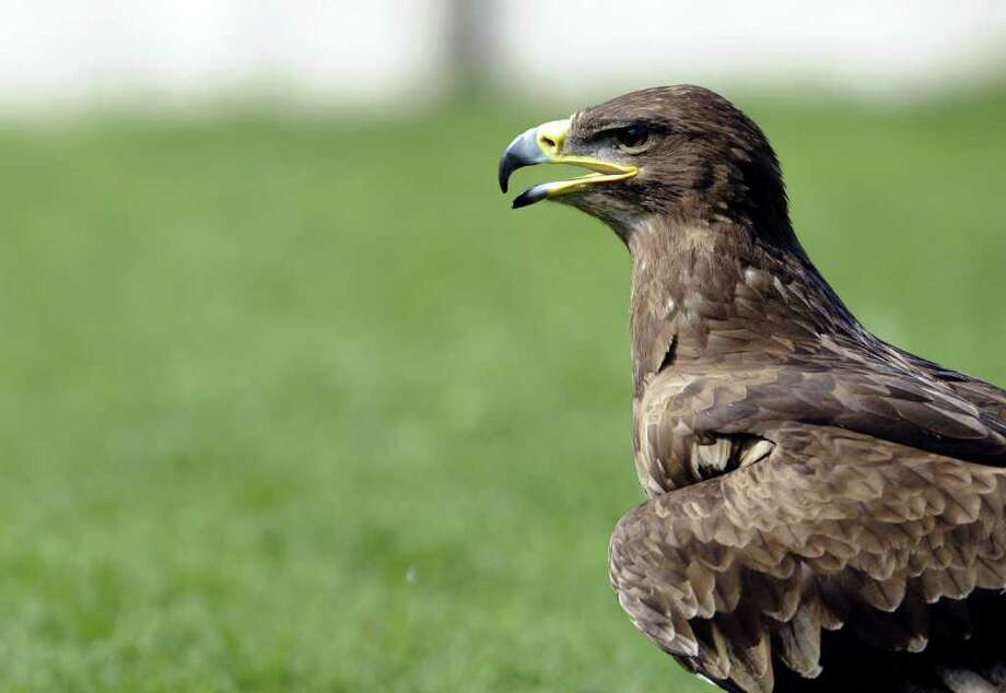 A steppe eagle is pictured at a zoo in Amneville.  Photo: AFP/Getty Images