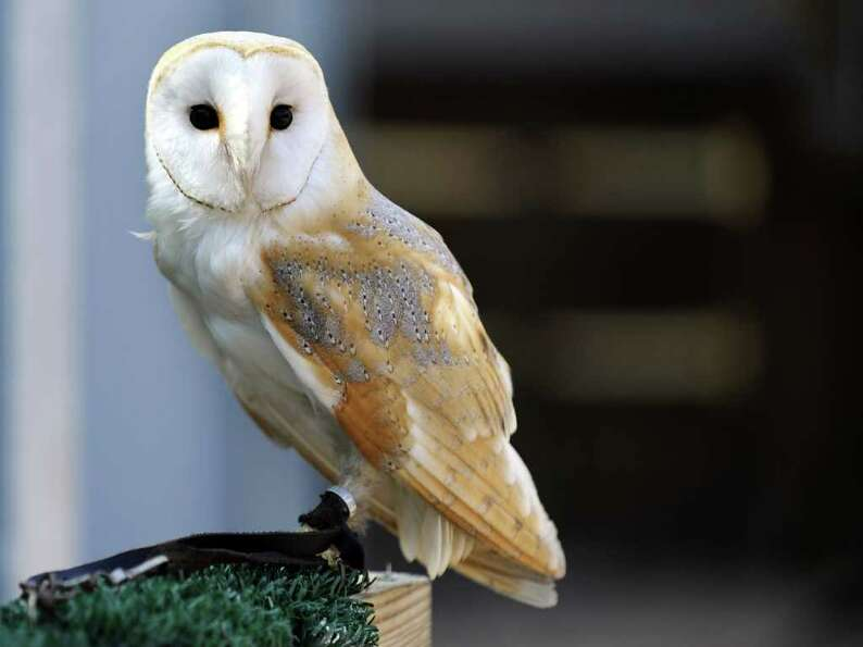 A barn owl is pictured at a zoo in Amneville.