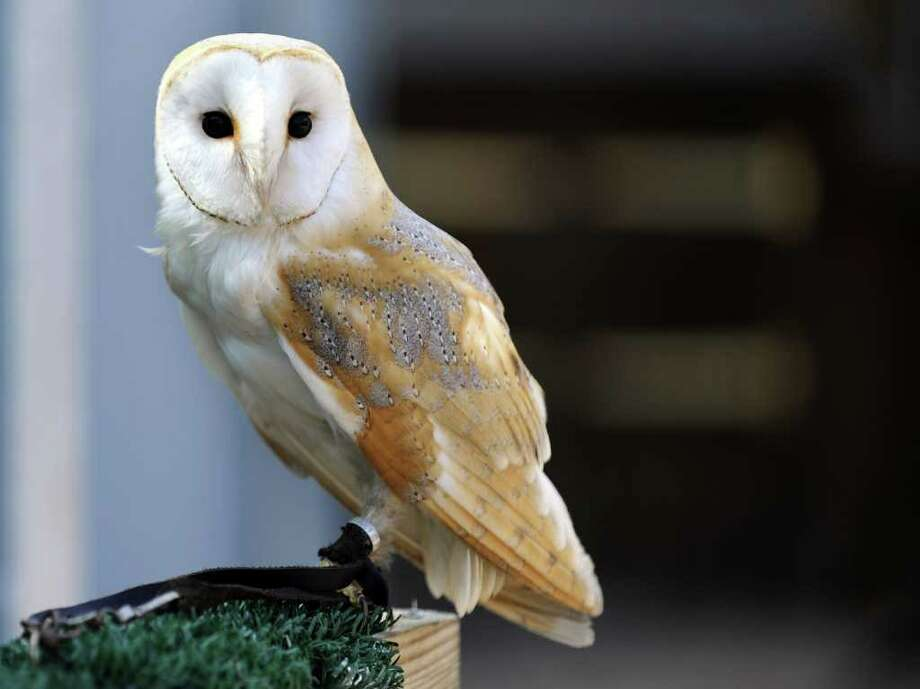 A barn owl is pictured at a zoo in Amneville. Photo: AFP/Getty Images