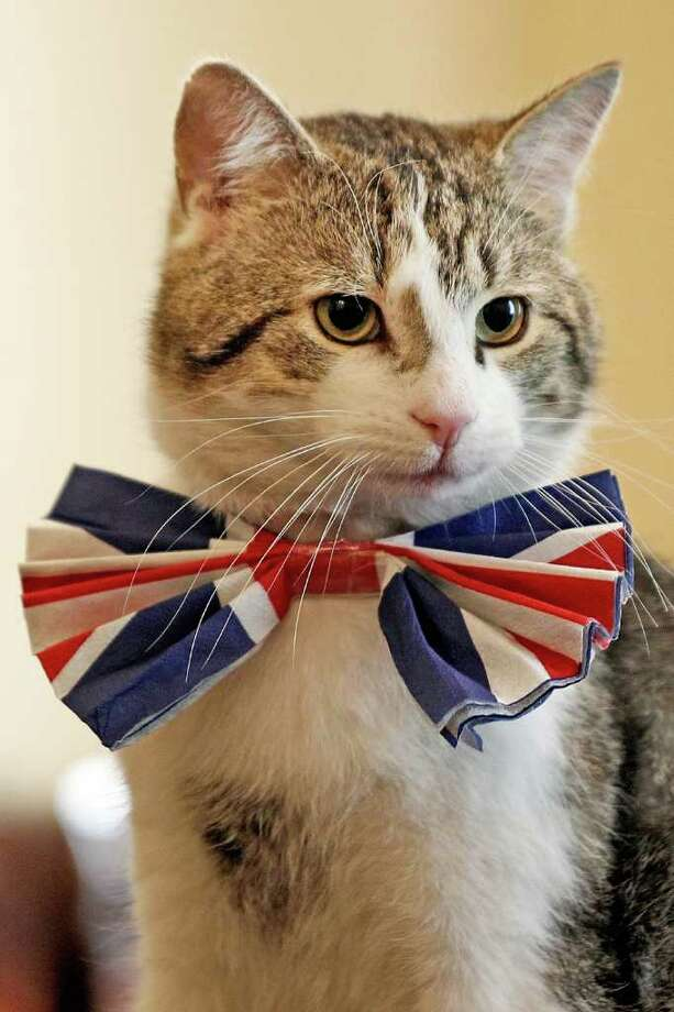 LONDON - APRIL 28:  Larry, the Downing Street cat, gets in the Royal Wedding spirit in a Union flag bow-tie in the Cabinet Room at number 10 Downing Street on April 28, 2011 in London, England. Prince William will marry his fiancee Catherine Middleton at Westminster Abbey tomorrow. (Photo by James Glossop - WPA Pool/Getty Images) Photo: Getty Images