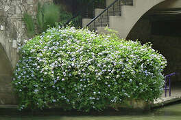 Texas Superstar photo  Plumbago is a Texas Superstar built for  weather extremes.