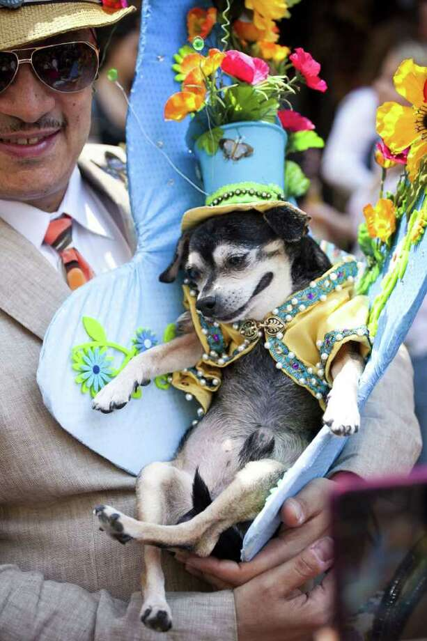 Anthony Rubio, of the Bronx, and his chihuahua Bandit take part in the 2011 Easter Parade and Easter Bonnet Festival on April 24, 2011 in New York City.  The parade is a New York tradition that started back approximately in the mid-1800s when the social elite would demonstrate their fashionable clothes while walking down Fifth Avenue after attending Easter services and celebrations in one of the Fifth Avenue churches. Photo: Getty Images