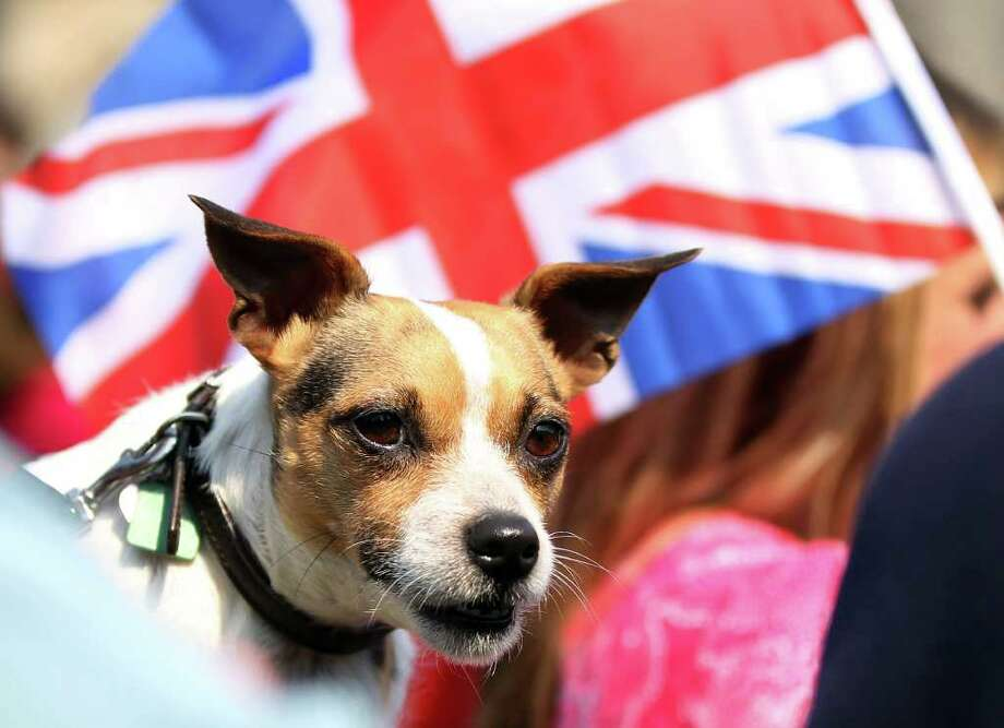 Jack Russell terrier Mabel watches the Royal Wedding on a big screen in St Salvadors Quad, on April 29, 2011 in St Andrews, Scotland.  Photo: Getty Images