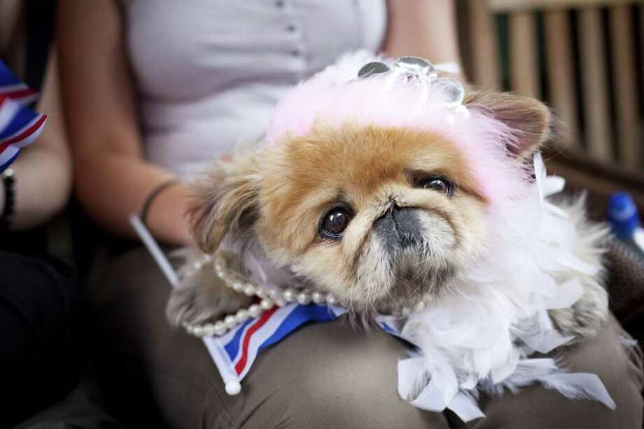 Ms. Thang, a Pekinese, poses in front of A Salt & Battery, after the Royal Wedding of Prince William and Miss Catherine Middleton on April 29, 2011 in New York City.  Photo: Getty Images