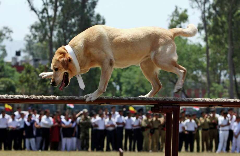 An Indian army dog walks a metal beam during an event at the Army School in Nagrota, India, on Tuesday, April 26, 2011. Photo: AP