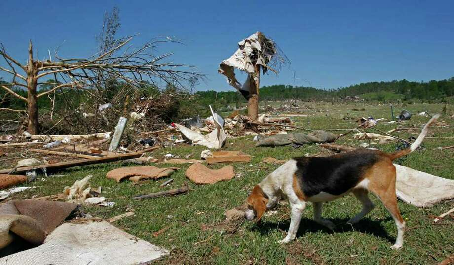 A dog looks for food Friday, April 29, 2011 in Cleveland, Tenn. after a tornado destroyed the family home on Wednesday. Photo: AP