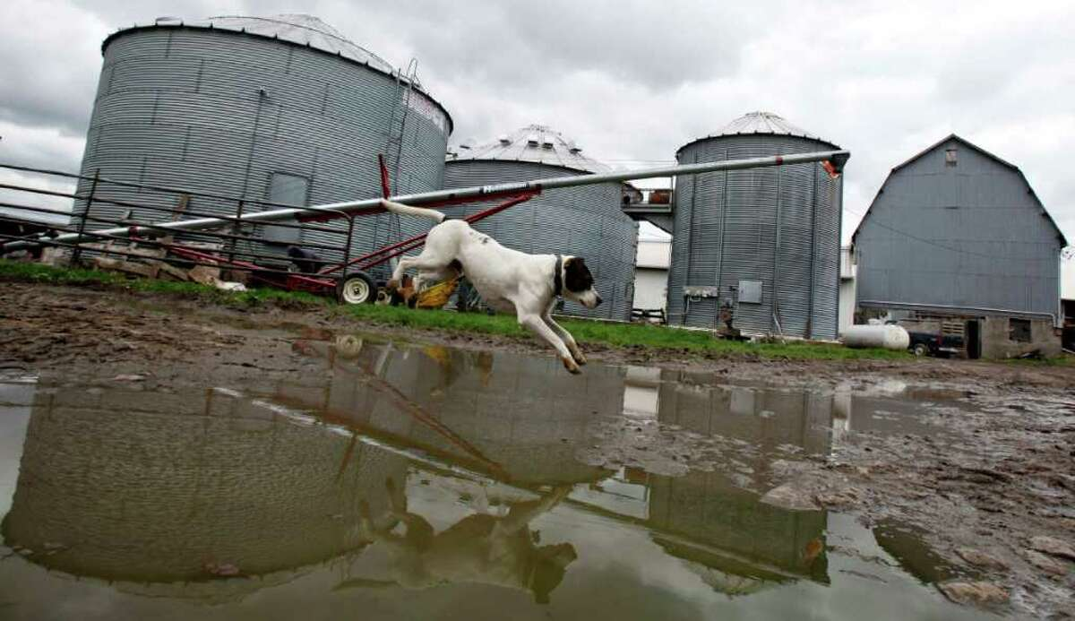 Benny, a dog owned by the Phelps family, jumps over a puddle on their farm in Pembroke, N.Y., Wednesday, May 4, 2011. On soggy New York farms, tractors are sitting idle and their owners are growing anxious waiting for skies to clear in this unusually wet spring. (AP Photo/David Duprey)
