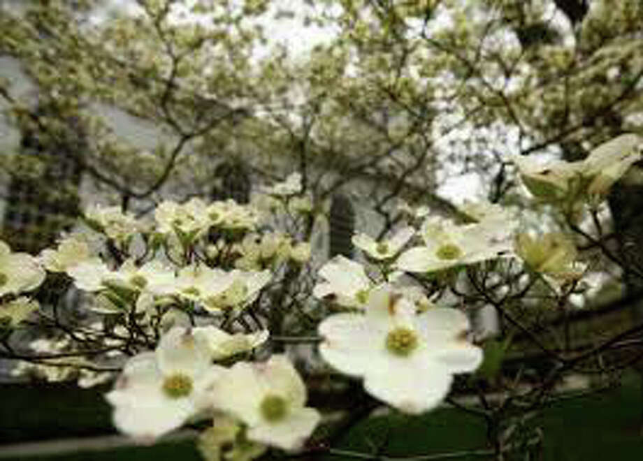 Celebrate mom and nature's beauty this weekend at the 76th annual Dogwood Festival at Greenfield Hill Church. Photo: File Photo / Fairfield Citizen