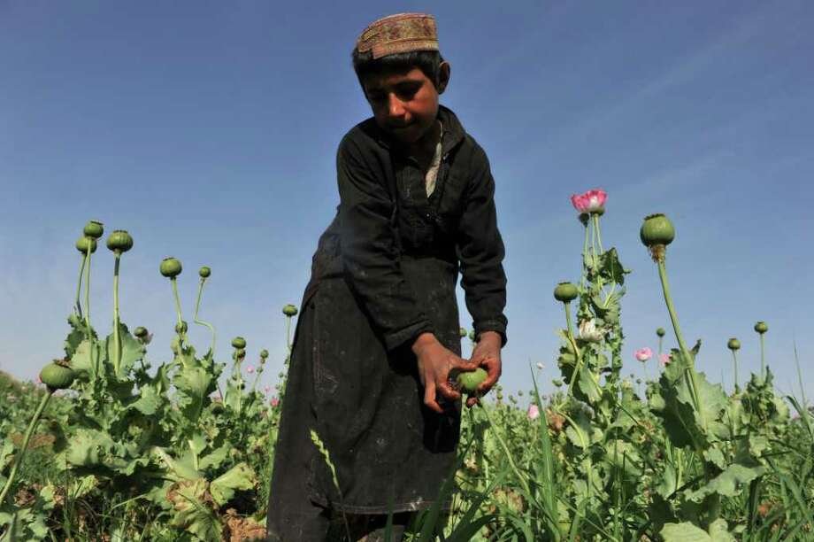 Muhammad Bayan, 8, harvests opium poppies at his family's field at Maranjan Village in Afghanistan on April 25, 2011. Photo: Bay Ismoyo/AFP/Getty Images