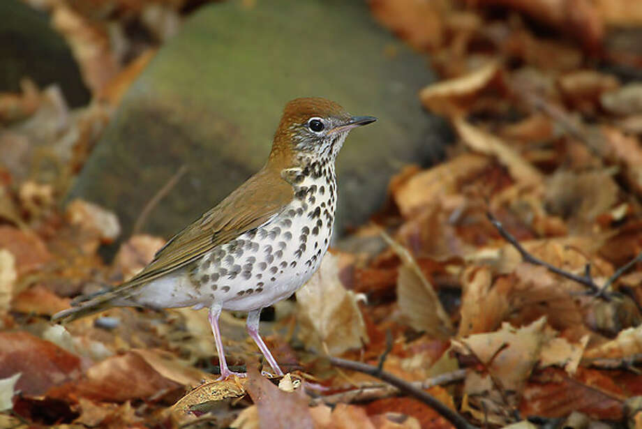 Saturday: Audubon Greenwich celebrates International Migratory Bird Day with a guided walk at 6:30 a.m. followed by breakfast. Visit greenwich.audubon.org for more info. Photo: Contributed Photo / Connecticut Post Contributed