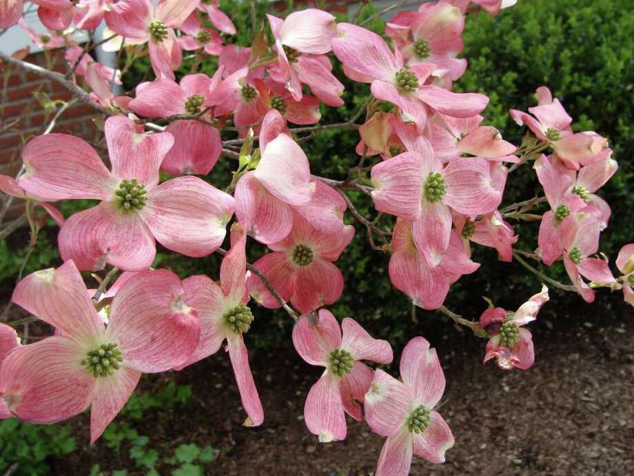 The pink and white petals on thousands of dogwood trees on Greenfield Hill started blossoming just in time for the weekend's Dogwood Festival on the grounds of the Greenfield Hill Congregational Church. Photo: Meg Barone / Fairfield Citizen freelance