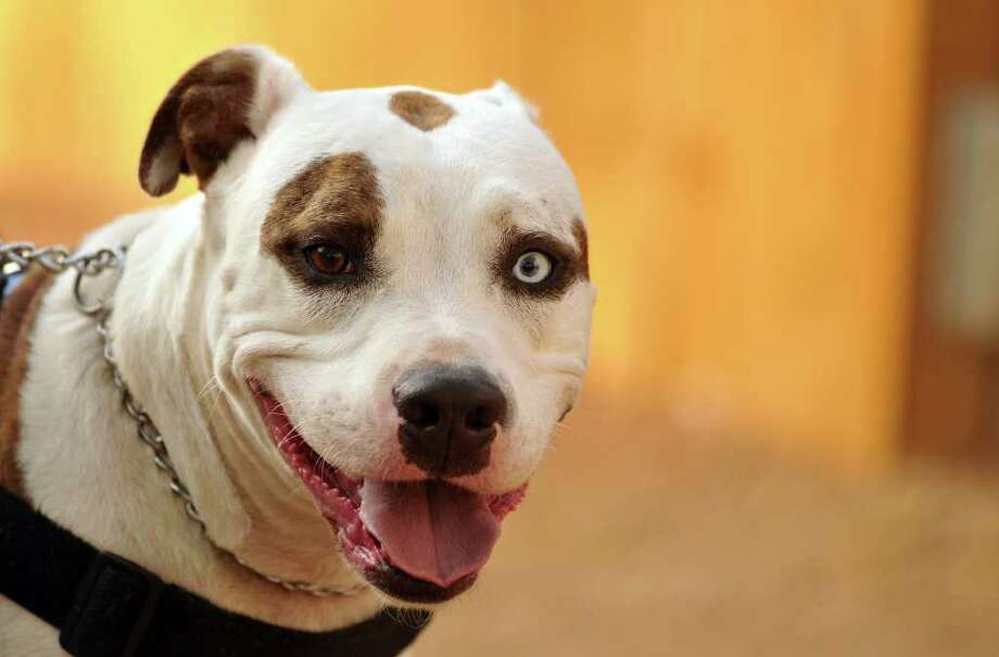 Advocates say pit bulls such as Pluto (above) are misunderstood. But a study finding pit bull attacks are disproportionately lethal could give new ammo to those who want the breed regulated like wild animals. Photo: Robin Jerstad/Special To The Express-News / Copyright 2011 by Robin Jerstad, 210-254-6552