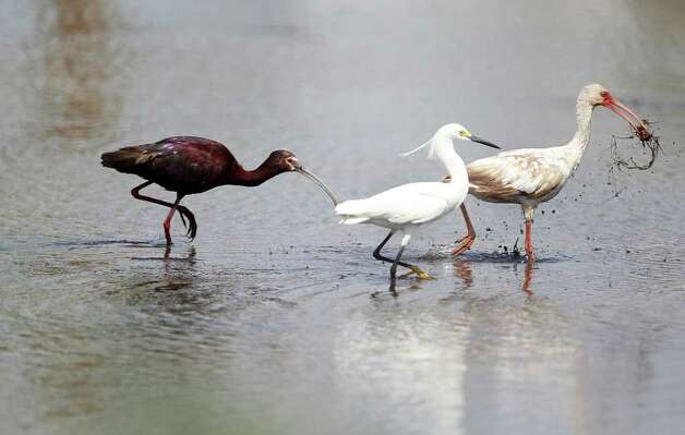 Glossy Ibis, and Little Egret try to take away the food from the White Ibis at the Anahuac Wildlife Refuge where wildlife can be seen due to efforts to restore the park since Hurricane Ike on Thursday, May 5, 2011, in Anahuac.  All the refuges were completely flooded by the storm surge, killing wildlife and vegetation and demolishing all structures there.  ( Mayra Beltran / Houston Chronicle ) Photo: Mayra Beltran, Staff / © 2011 Houston Chronicle