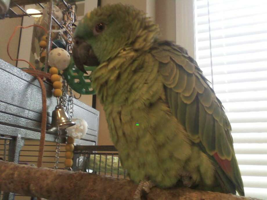Wilma, the parrot owned by Bill Uris of Saratoga Springs. (Photo courtesy of Bill Uris)