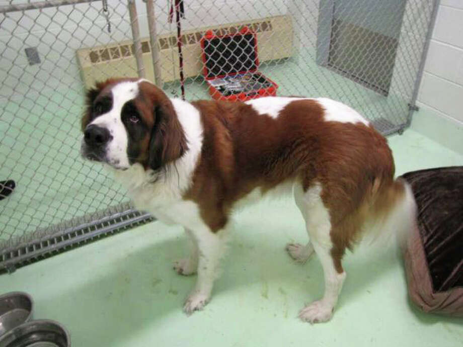 """This pure bred Saint Bernard, found roaming on Stratfield Road last week, is now up for adoption after attempts to locate the dog's owner proved unsuccessful. Those interested should call the Fairfield Animal Shelter at 203-254-4857. Anyone calling """"after hours"""" should call the Fairfield Police Department at 203-254-4808. Photo: Contributed Photo / Fairfield Citizen contributed"""